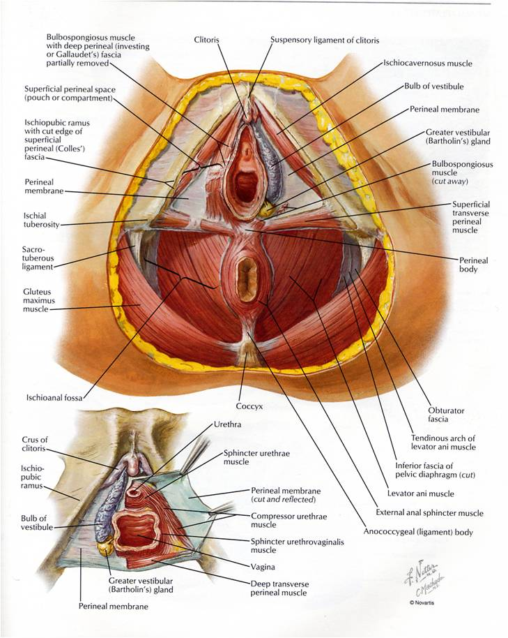 Pelvic-floor-anatomy