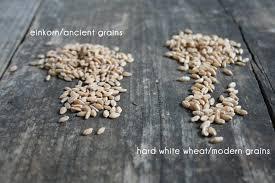 Prapšenica – Pšenica Einkorn – Triticum monococcum